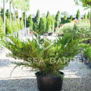 Можжевельник Пфитцериана Mint Julep 125-150 см