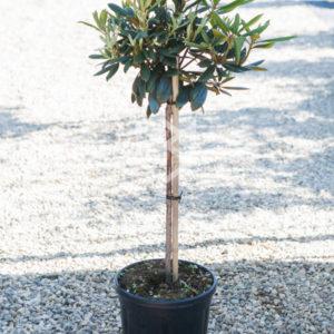 рододендрон persil