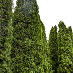 Туя Smaragd 375-400 см
